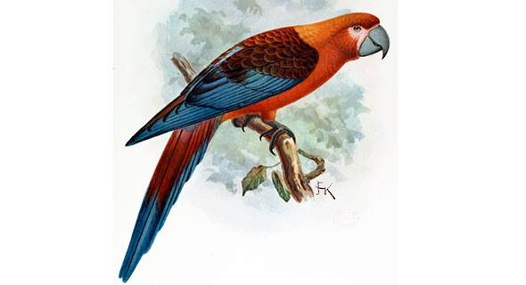 animals brought back from extinction Cuban Macaw