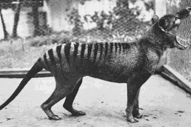 Animals brought back from extinction Thylacine