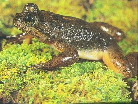 Animals brought back from extinction gastric brooding frog