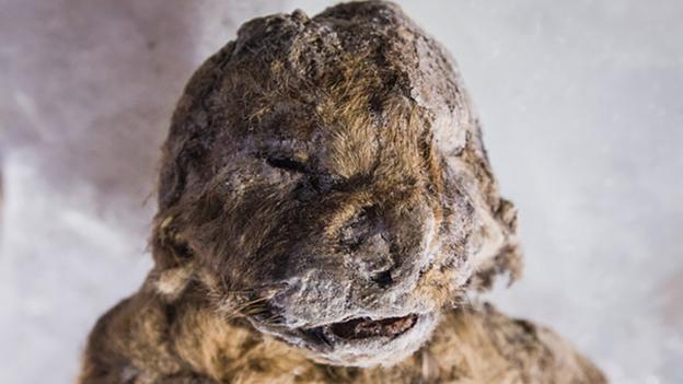 frozen siberian cave lion cub